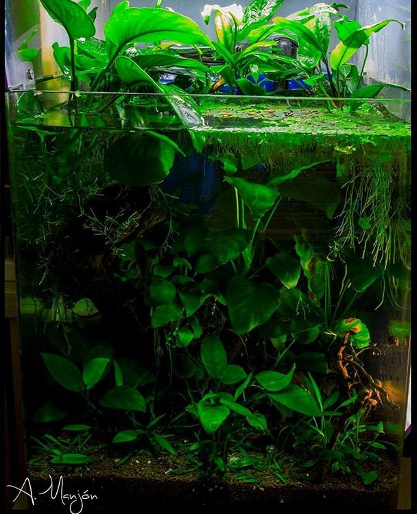 Acuario de Anubias Aquarium blog