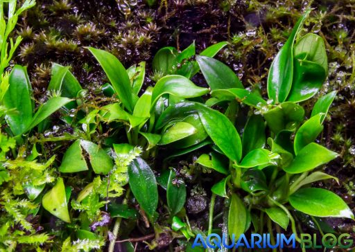 Anubias pangolino en estado emergido Aquarium Blog
