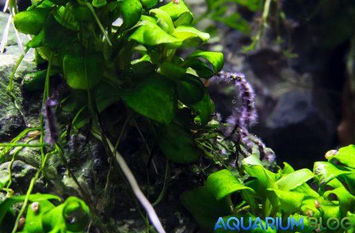 Alga Pincel en Anubias