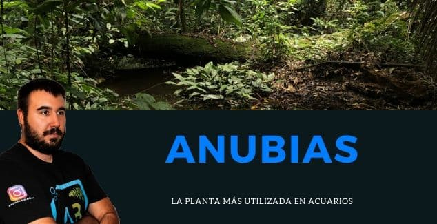 ANUBIAS, LA PLANTA MÁS UTILIZADA EN ACUARIOS.