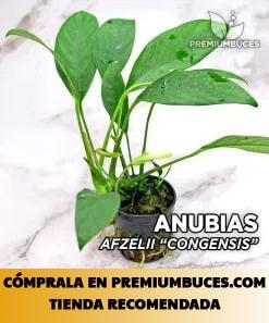 ANUBIAS AFZELLI