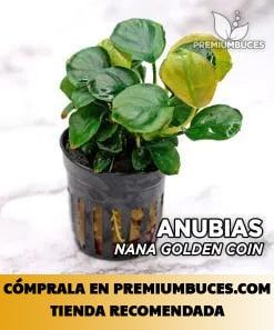 ANUBIAS BARTERI NANA VAR. GOLDEN COIN