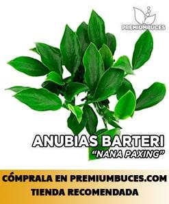 ANUBIAS BARTERI NANA VAR. PAXING