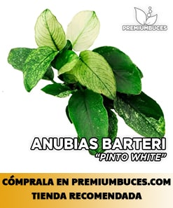 ANUBIAS BARTERI NANA VAR. PINTO WHITE