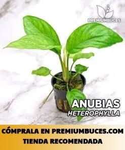ANUBIAS HETEROPHYLA