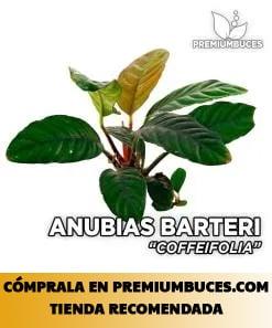 ANUBIAS SP. VAR. COFFEFOLIA