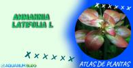 AMMANNIA LATIFOLIA L