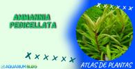 AMMANNIA-PEDICELLATA