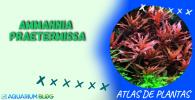 AMMANNIA-RAETERMISSA