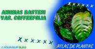 ANUBIAS-BARTERI-VAR-COFFEEFOLIA
