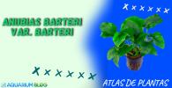 ANUBIAS-BARTERI-VAR.-BARTERI