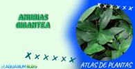 ANUBIAS-GIGANTEA