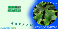 ANUBIAS-GRACILIS