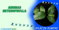ANUBIAS-HETEROPHYLLA