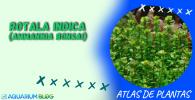 ROTALA-INDICA