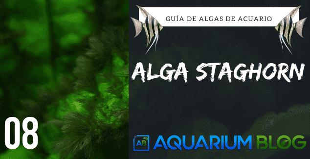 ALGA STAGHORN (ASTA DE CIERVO)