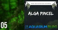 Alga pincel en acuarios