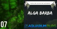 Alga Barba acuario